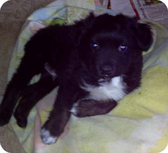 Boston Terrier/Border Collie Mix Puppy for adoption in House Springs, Missouri - Trooper