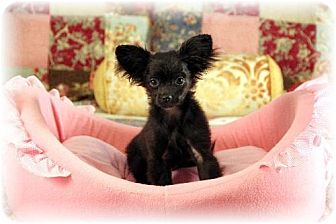 Pomeranian/Poodle (Miniature) Mix Puppy for adoption in Dallas, Texas - Candy