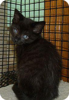Domestic Shorthair Kitten for adoption in Acme, Pennsylvania - CAFI