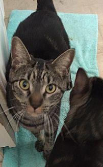 Domestic Shorthair Cat for adoption in Sacramento, California - Zoey