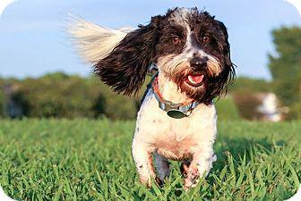 Havanese/Shih Tzu Mix Dog for adoption in Starkville, Mississippi - Louie