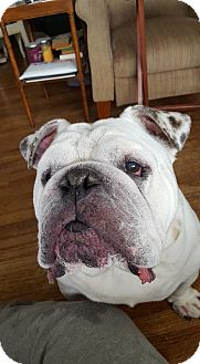 English Bulldog Dog for adoption in Columbus, Ohio - Max