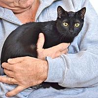 Domestic Shorthair Kitten for adoption in Davis, California - Marigold