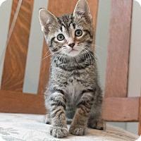 Adopt A Pet :: Sarsaparilla - Chicago, IL