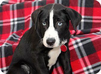 Labrador Retriever/Border Collie Mix Puppy for adoption in Los Angeles, California - Azure - 2 Blue Eyes