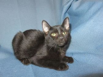 Domestic Shorthair/Domestic Shorthair Mix Cat for adoption in Chicago, Illinois - Darcy