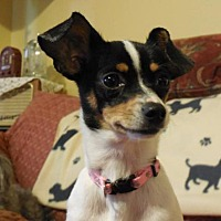 Rat Terrier/Chihuahua Mix Dog for adoption in Poughkeepsie, New York - Qiana