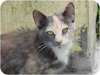Calico Cat for adoption in Fort Lauderdale, Florida - Tabby