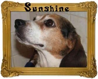 Beagle/Jack Russell Terrier Mix Dog for adoption in salisbury, North Carolina - Sunshine