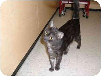 Domestic Mediumhair Cat for adoption in No.Charleston, South Carolina - APOLLO
