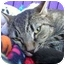 Photo 1 - American Shorthair Cat for adoption in Berkeley, California - Forrest