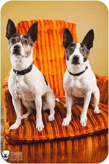 Rat Terrier/Boston Terrier Mix Dog for adoption in Portland, Oregon - Macie & Dot