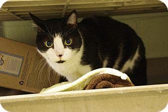 Domestic Shorthair Cat for adoption in Elyria, Ohio - Auggie