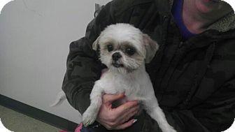 Shih Tzu Dog for adoption in Manassas, Virginia - Stanley