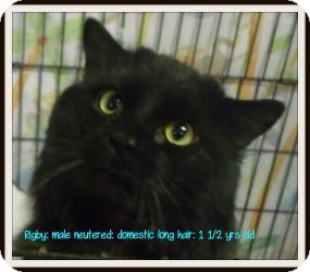 Domestic Longhair Cat for adoption in Muskegon, Michigan - Rigby
