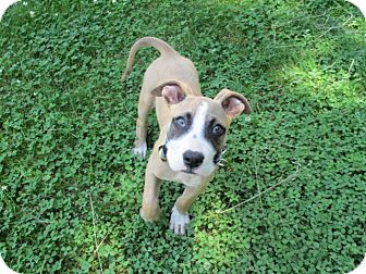 Boxer/Great Dane Mix Puppy for adoption in Old Bridge, New Jersey - Bullet