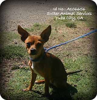 Chihuahua Mix Dog for adoption in Yuba City, California - 09/11 Unnamed
