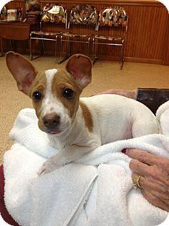 Dachshund/Terrier (Unknown Type, Medium) Mix Puppy for adoption in Stilwell, Oklahoma - Duckie
