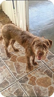 Wirehaired Pointing Griffon/Terrier (Unknown Type, Medium) Mix Dog for adoption in El Segundo, California - Becky
