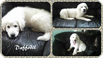 Great Pyrenees Puppy for adoption in DOVER, Ohio - Daffodil