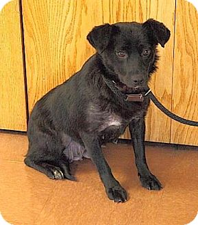 Australian Shepherd Mix Dog for adoption in Rapid City, South Dakota - Tess