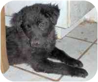 Labrador Retriever Mix Puppy for adoption in tucson, Arizona - Ashley