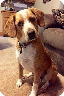 Beagle Mix Dog for adoption in union, Missouri - Chico