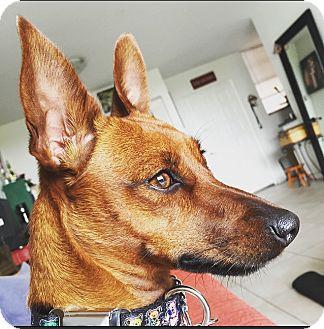 Miniature Pinscher/Terrier (Unknown Type, Small) Mix Dog for adoption in Miami, Florida - Nikki