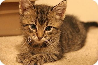 Domestic Shorthair Kitten for adoption in Tampa, Florida - Eloise