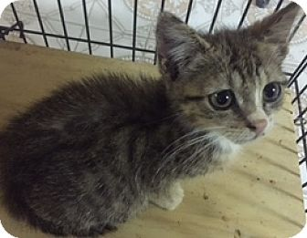 American Shorthair Kitten for adoption in Forest Hills, New York - Victoria
