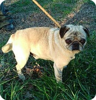 Pug Dog for adoption in Gallatin, Tennessee - HANK- ADOPTED