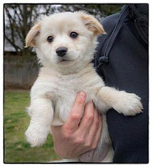 Sheltie, Shetland Sheepdog Mix Puppy for adoption in Freeport, New York - Stevie