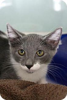 Domestic Shorthair Cat for adoption in Bradenton, Florida - Taunia
