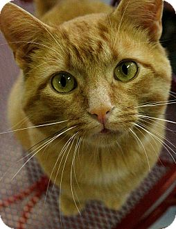 Domestic Mediumhair Cat for adoption in Martinsville, Indiana - Furrnando