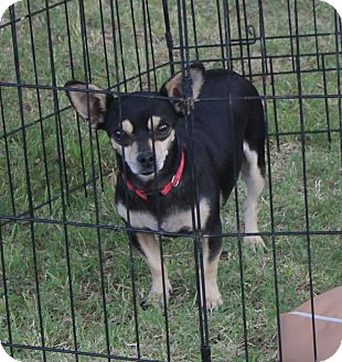 Chihuahua Dog for adoption in Ridgecrest, California - Ally