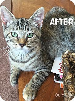 Domestic Shorthair Kitten for adoption in Greensburg, Pennsylvania - Belle