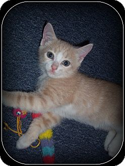 Domestic Shorthair Kitten for adoption in South Plainfield, New Jersey - Markee