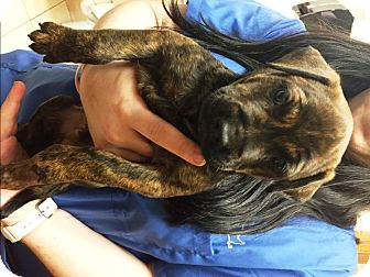 Labrador Retriever Mix Puppy for adoption in Ft. Lauderdale, Florida - Remy