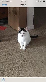Domestic Shorthair Cat for adoption in Hampton, Virginia - Tutti ( Courtesy Listing)