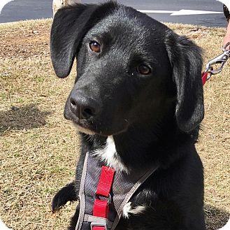 Collie/Labrador Retriever Mix Puppy for adoption in CUMMING, Georgia - Ziggy