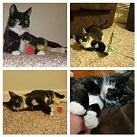 Adopt A Pet :: Petunia the Cat* - Tampa, FL