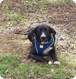 Labrador Retriever Mix Dog for adoption in Sturbridge, Massachusetts - Jericho