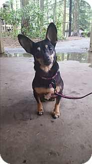 Chihuahua/Dachshund Mix Dog for adoption in Vancouver, Washington - Holly