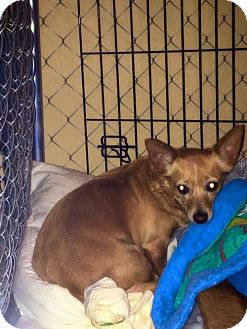 Chihuahua Dog for adoption in San Antonio, Texas - A347836 Polly