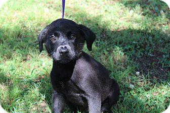 Labrador Retriever Mix Puppy for adoption in Conway, Arkansas - Bubba