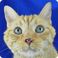 Adopt A Pet :: Marmalade - Pagosa Springs, CO