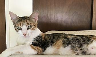 Domestic Shorthair Cat for adoption in St. Louis, Missouri - Whitney Houston