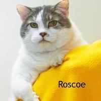 Adopt A Pet :: Roscoe - Cedar Rapids, IA
