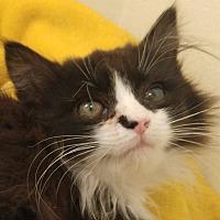 Adopt A Pet :: Mittens - Midvale, UT