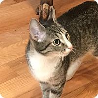 Adopt A Pet :: Amore - Philadelphia, PA